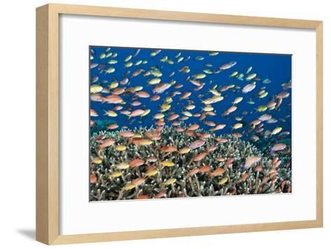 Fairy Basslets Over a Reef-Matthew Oldfield-Framed Art Print