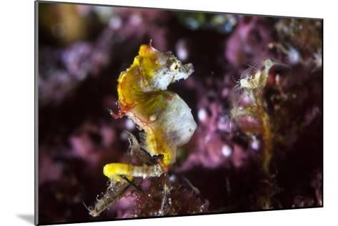 Pontohi Pygmy Seahorse-Matthew Oldfield-Mounted Photographic Print