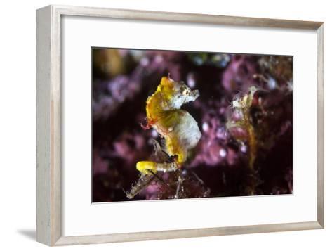 Pontohi Pygmy Seahorse-Matthew Oldfield-Framed Art Print