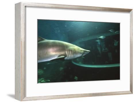 Shark In Aquarium-Alexis Rosenfeld-Framed Art Print