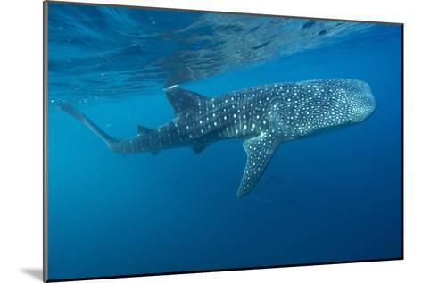 Whale Shark-Alexis Rosenfeld-Mounted Photographic Print