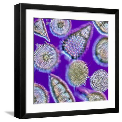 LM of An Assortment of Radiolaria-PASIEKA-Framed Art Print