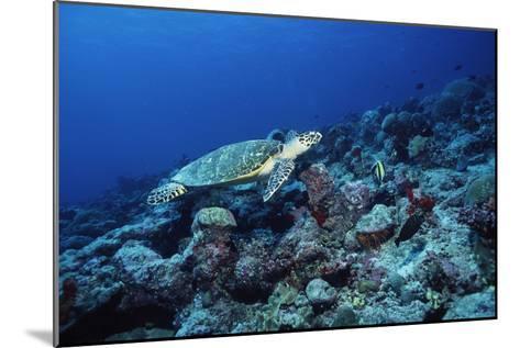 Hawksbill Turtle-Alexis Rosenfeld-Mounted Photographic Print