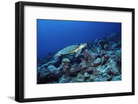 Hawksbill Turtle-Alexis Rosenfeld-Framed Art Print