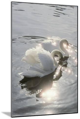 Mute Swans-Peter Scoones-Mounted Photographic Print