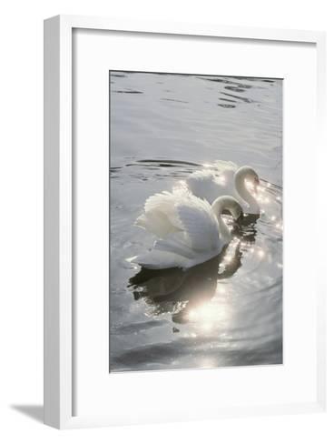 Mute Swans-Peter Scoones-Framed Art Print
