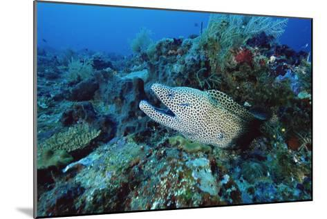 Laced Moray-Alexis Rosenfeld-Mounted Photographic Print