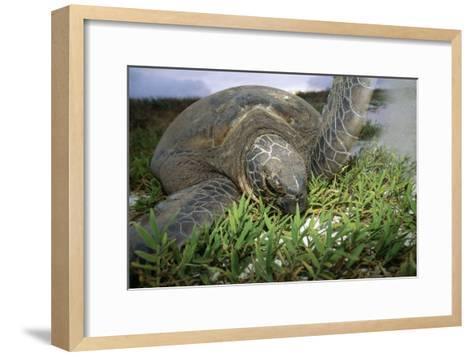 Green Turtle on a Beach-Alexis Rosenfeld-Framed Art Print