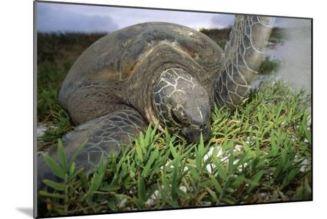 Green Turtle on a Beach-Alexis Rosenfeld-Mounted Photographic Print