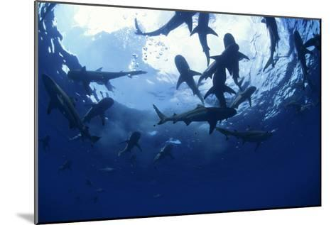 Blacktip Reef Sharks-Alexis Rosenfeld-Mounted Photographic Print