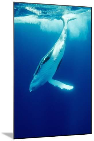 Humpback Whale-Alexis Rosenfeld-Mounted Photographic Print