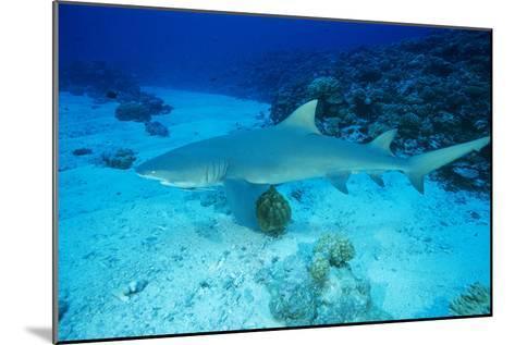 Lemon Shark-Alexis Rosenfeld-Mounted Photographic Print