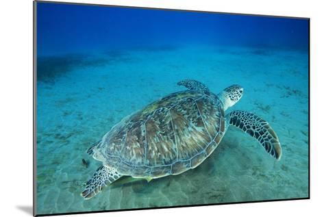 Green Sea Turtle-Alexis Rosenfeld-Mounted Photographic Print