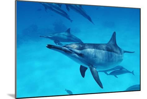 Spinner Dolphins-Alexis Rosenfeld-Mounted Photographic Print