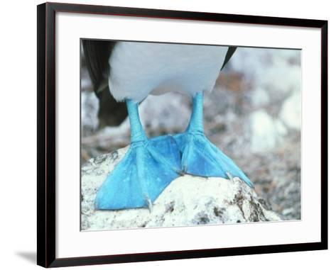 Blue-footed Booby Feet-Peter Scoones-Framed Art Print