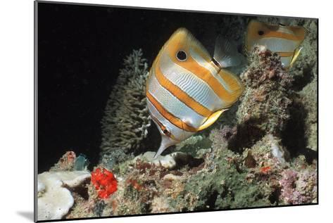 Copperbanded Butterflyfish-Peter Scoones-Mounted Photographic Print