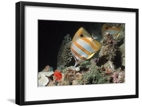 Copperbanded Butterflyfish-Peter Scoones-Framed Art Print
