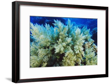 Soft Coral-Alexis Rosenfeld-Framed Art Print