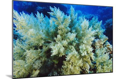 Soft Coral-Alexis Rosenfeld-Mounted Photographic Print