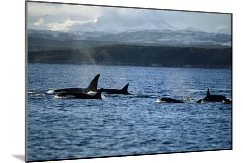 Killer Whales-Alexis Rosenfeld-Mounted Photographic Print
