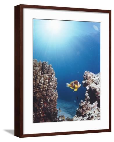 Twoband Anemonefish-Peter Scoones-Framed Art Print