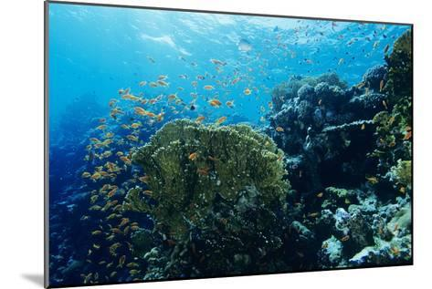 Coral Reef In the Red Sea-Alexis Rosenfeld-Mounted Photographic Print