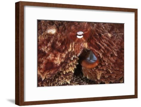 Giant Pacific Octopus-Alexis Rosenfeld-Framed Art Print