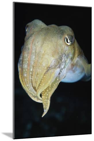 Cuttlefish-Alexis Rosenfeld-Mounted Photographic Print