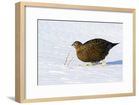 Female Red Grouse In Snow-Duncan Shaw-Framed Art Print