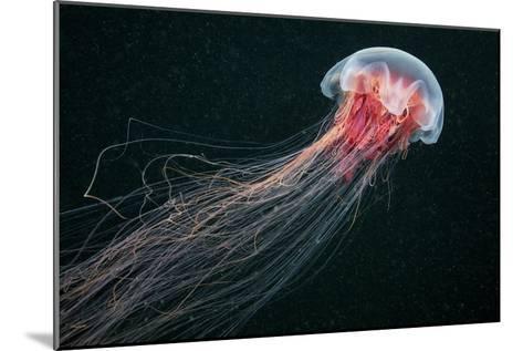 Lion's Mane Jellyfish-Alexander Semenov-Mounted Photographic Print