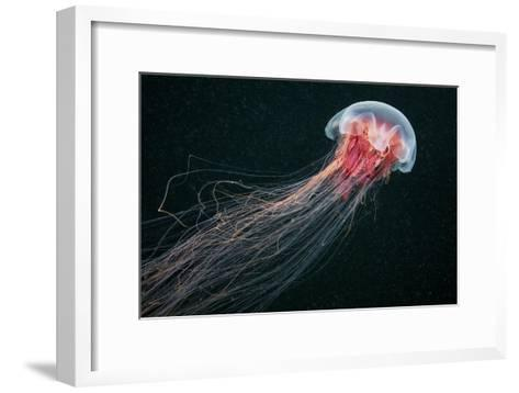 Lion's Mane Jellyfish-Alexander Semenov-Framed Art Print