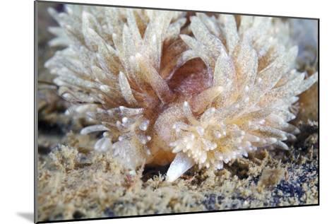 Shaggy Mouse Nudibranch-Alexander Semenov-Mounted Photographic Print