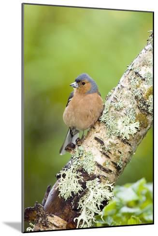 Chaffinch-Duncan Shaw-Mounted Photographic Print