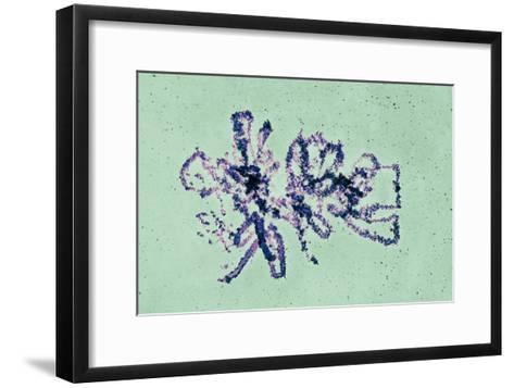 Lampbrush Chromosomes, TEM-Science Photo Library-Framed Art Print