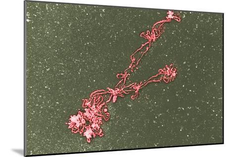 Lampbrush Chromosomes, TEM-Science Photo Library-Mounted Photographic Print