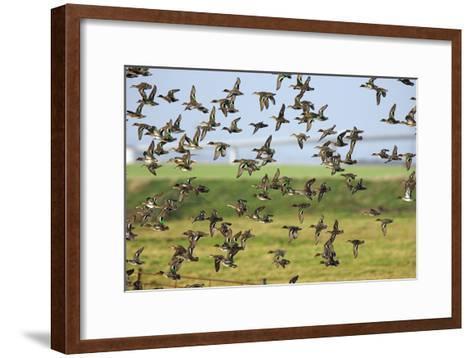 Flock of Common Teal-Duncan Shaw-Framed Art Print