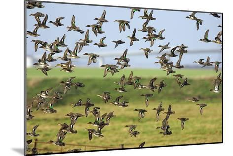 Flock of Common Teal-Duncan Shaw-Mounted Photographic Print