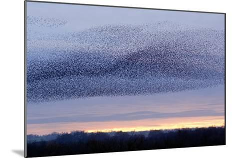 European Starling Flock-Duncan Shaw-Mounted Photographic Print