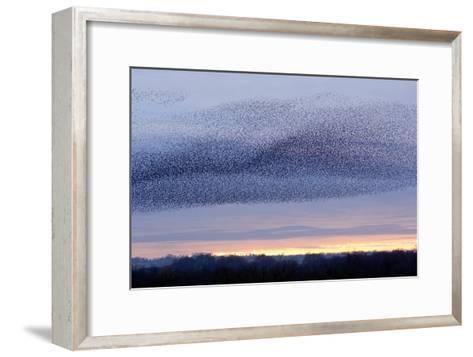 European Starling Flock-Duncan Shaw-Framed Art Print