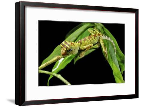 Borneo Forest Dragon Lizard-Robbie Shone-Framed Art Print