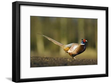 A Male Pheasant-Duncan Shaw-Framed Art Print