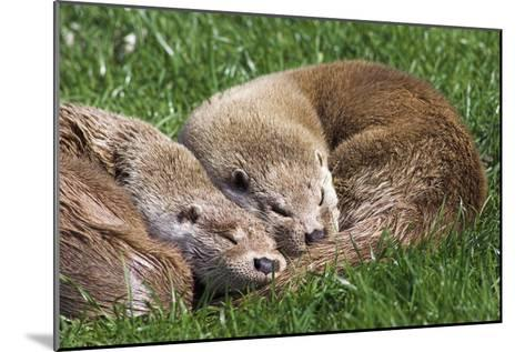 European Otters-Duncan Shaw-Mounted Photographic Print