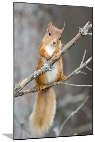 Red Squirrel on a Branch-Duncan Shaw-Mounted Photographic Print