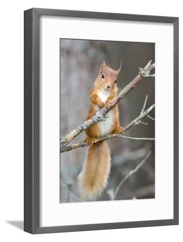 Red Squirrel on a Branch-Duncan Shaw-Framed Art Print