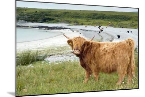 Highland Cattle by the Sea-Duncan Shaw-Mounted Photographic Print