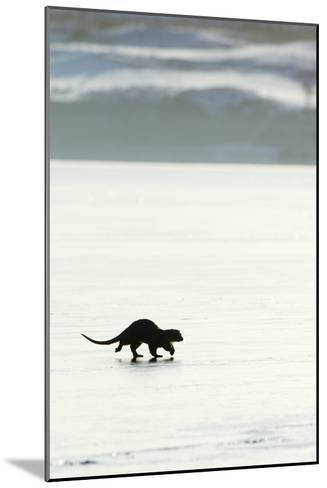 European Otter on Sea Ice-Duncan Shaw-Mounted Photographic Print