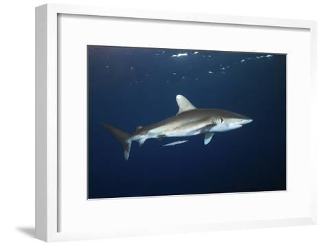 Oceanic Whitetip Shark-Alexander Semenov-Framed Art Print