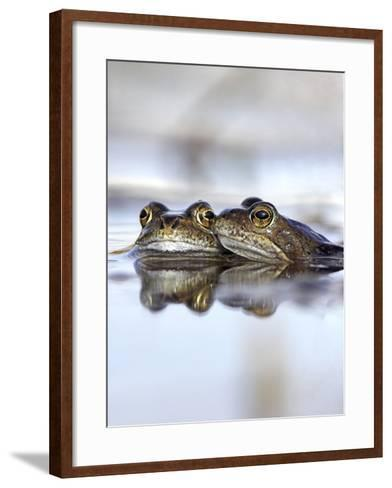 Common Frogs Spawning-Duncan Shaw-Framed Art Print