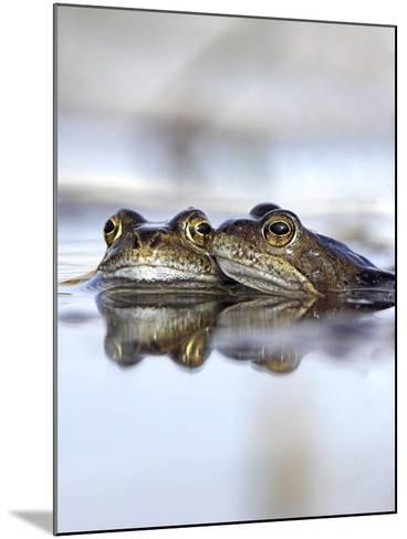 Common Frogs Spawning-Duncan Shaw-Mounted Photographic Print