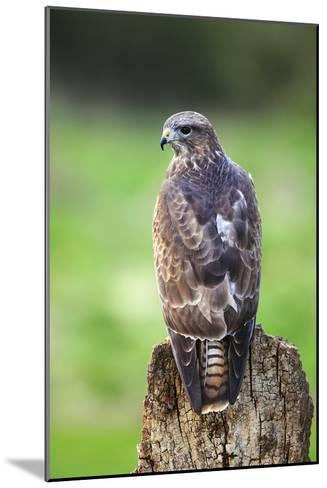 Common Buzzard-Colin Varndell-Mounted Photographic Print